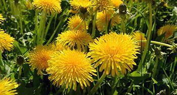 25 Medicinal Plants You Can Forage Right Now - Dandelions