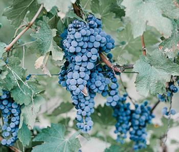25 Medicinal Plants You Can Forage Right Now - Fox Grapes
