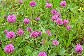 25 Medicinal Plants You Can Forage Right Now - Red Clover
