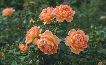 25 Medicinal Plants You Can Forage Right Now - Rose