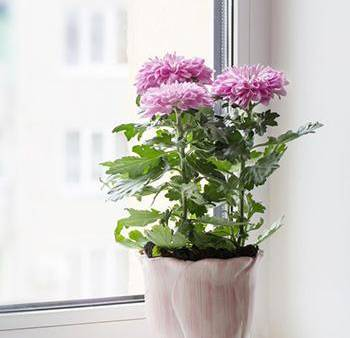 5 Plants that Prevent and Remove Mold - Chrisanthemus