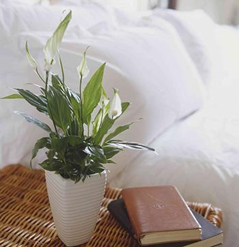 5 Plants that Prevent and Remove Mold - Peace Lily