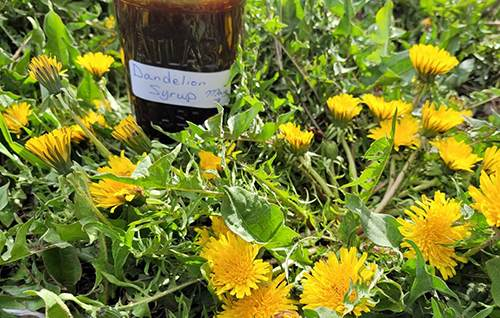 Dandelion Syrup For Cholesterol and Blood Sugar Control - Recipe Notes