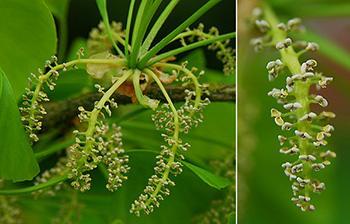 Ginkgo Biloba - Flower