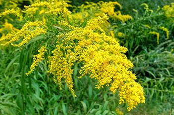 If you see this weed growing in your garden don't smell it and here is why - Flowers