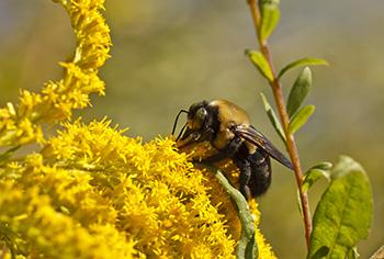 If you see this weed growing in your garden don't smell it and here is why - Pollen
