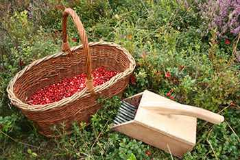 10 Berries You Should Look For In The Woods - Buffaloberries Basket