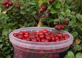 10 Berries You Should Look For In The Woods - Cowberries Remedies