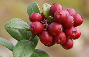 10 Berries You Should Look For In The Woods - Cowberries