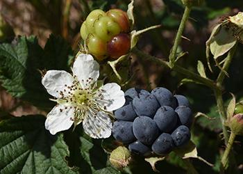 10 Berries You Should Look For In The Woods - Dewberries