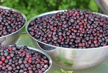 10 Berries You Should Look For In The Woods - Sakatoons Remedies
