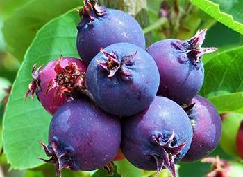 10 Berries You Should Look For In The Woods - Sakatoons