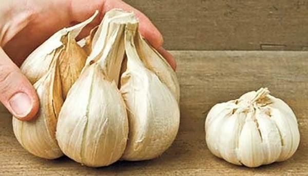 Elephant vs standard garlic