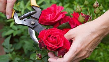 Harvest Roses