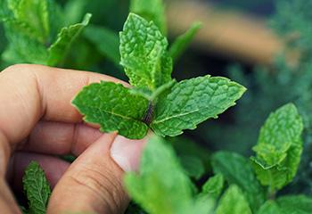 How to Make Herbal Ice Cubes - Mint