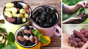 How to Use Mulberry Medicinally