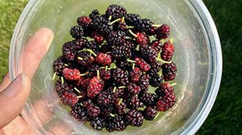 How to Use Mulberry Medicinally - Snack
