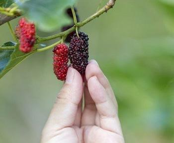 How to Use Mulberry Medicinally - Superfood