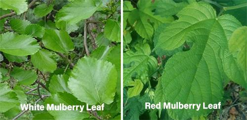 How to Use Mulberry Medicinally - White Mulberry Leaf vs Red Mulberry Leaf