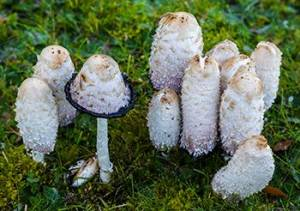 10 Mushrooms You Should Forage This Summer - Shaggy Mane