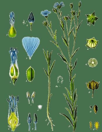 Common Flax - Identifications