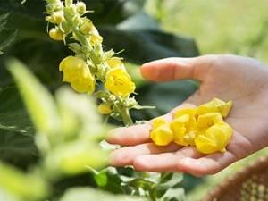 Harvest Mullein Flowers