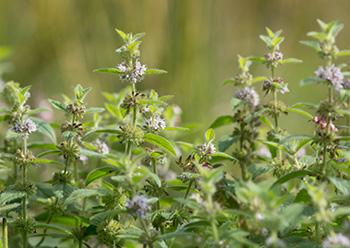 How To Protect Yourself Against Radiation With These 5 Herbs - Mint