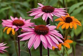 Natural Remedies for Fibromyalgia Pain - Echinacea