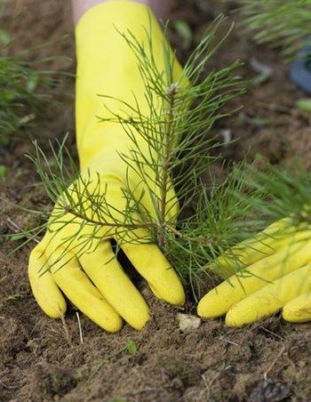 Growing White Pine