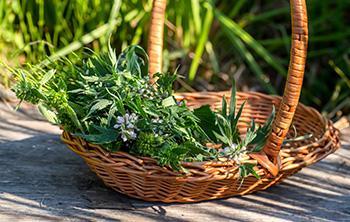 Harvest Motherwort