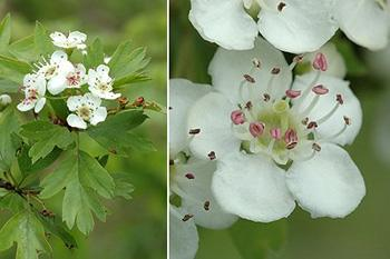 Hawthorn - Identification Flower and leaves