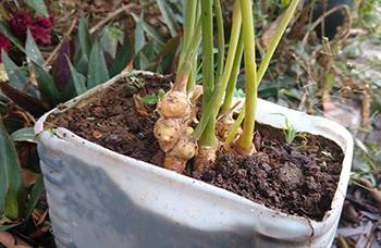 How to Make a Ginger Tincture - Grow Ginger