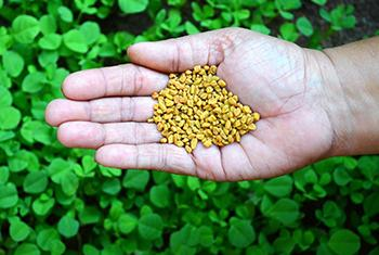 Kill Hunger With This Herb - How to Take Fenugreek