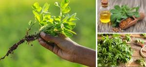 Kill Hunger With This Herb - Cover