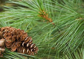 White Pine - History 1