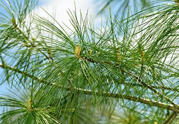 White Pine - History 2