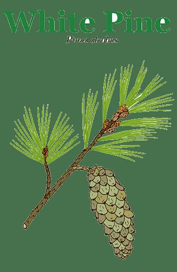 White Pine - Identification