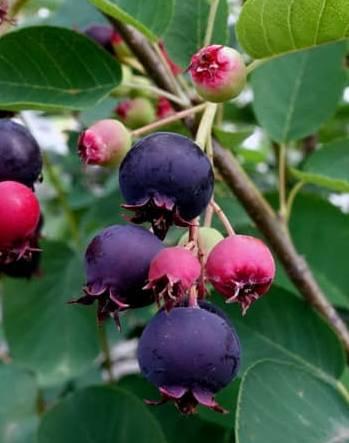 Saskatoon Berry Identification